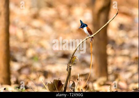 Indian paradise flycatcher - Stock Photo