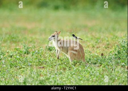 Agile wallaby (Macropus agilis) with an Willie Wagtail (Rhipidura leucophrys) on the back on a meadow, Queensland, Australia - Stock Photo