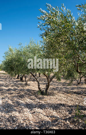 Olive grove of Coratina olives growing for extra virgin olive oil production at Azienda Agricola Mandranova at Palma di Montechiaro in Sicily - Stock Photo