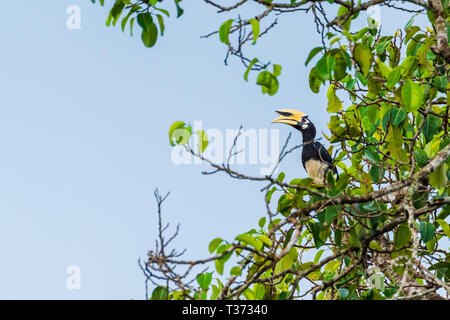 Oriental pied hornbill female in the nature - Stock Photo