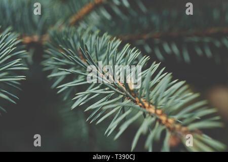 Fir tree brunch close up. Shallow focus. Fluffy fir tree brunch close up. Christmas wallpaper concept. Copy space. - Stock Photo