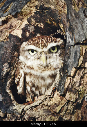 Close up of a Little owl (Athene noctua) perched in a tree trunk, UK. - Stock Photo
