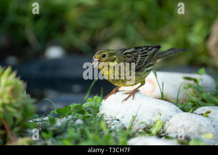 Siskin (Carduelis spinus) sits on a stone at the edge of a pond and eats sunflower seeds. A wonderful June morning. Wild Poland.Horizontal view. - Stock Photo