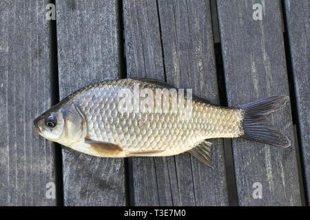 Prussian carp, silver Prussian carp or Gibel carp, Carassius gibelio, a harmful invasive species - Stock Photo