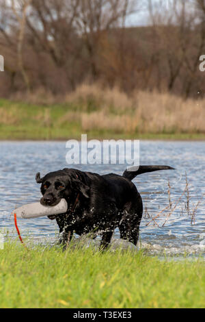 Black Lab still wanting to do some water retrieve after a morning hunt. - Stock Photo