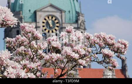 09 April 2019, Lower Saxony, Hannover: A blooming magnolia tree stands at the New Town Hall. Photo: Julian Stratenschulte/dpa - Stock Photo