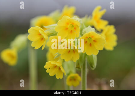 Close up of common cowslips (primula veris) in bloom - Stock Photo