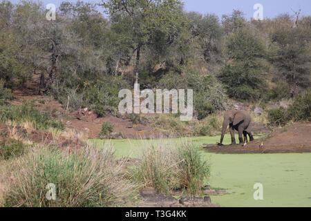 Afrikanischer Elefant am Sweni River/ African elephant at Sweni River / Loxodonta africana - Stock Photo