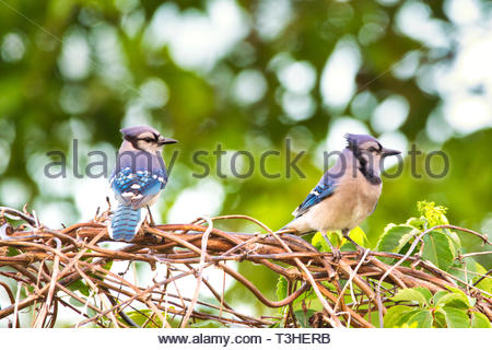 Pair of Blue Jays sitting on some brush in Florida - Stock Photo