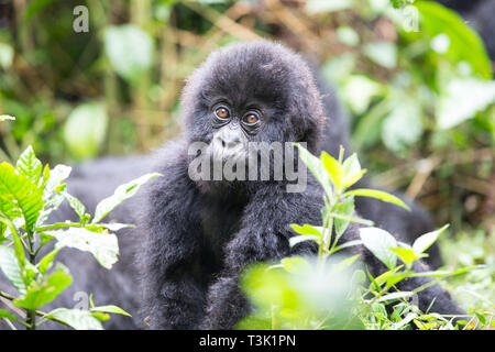 Baby Mountain Gorilla being playful in the jungle of Rawanda - Stock Photo