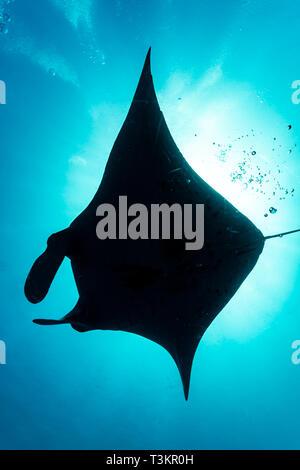 silhouette of giant oceanic manta rays, Manta birostris, underbelly - Stock Photo