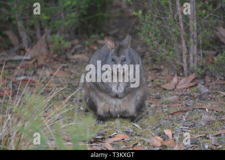 Tasmanian pademelon  is the sole species of pademelon found in Tasmania, and was formerly found throughout south-eastern Australia. - Stock Photo