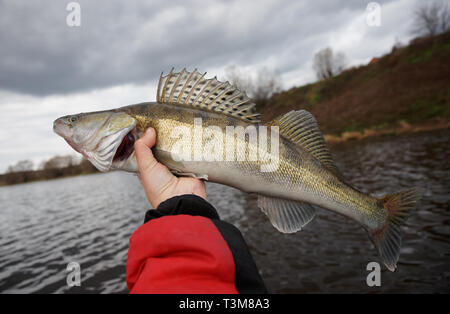 Walleye in fisherman's hand caught on cloudy autumn day - Stock Photo