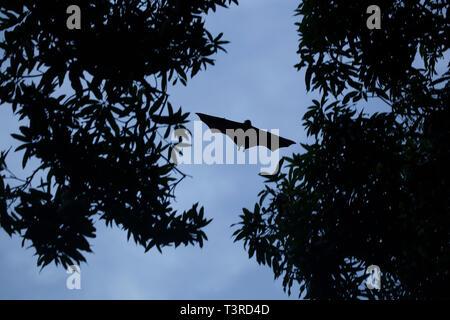 Giant Fruit Bat soaring over mango trees in the Seychelles - Stock Photo