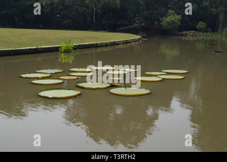 Tropical garden Park with floating water lilies Victoria amazonica) in park in Bogor on Java Indonesia - Stock Photo