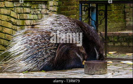 two crested porcupines eating some bread, rodents from Africa - Stock Photo