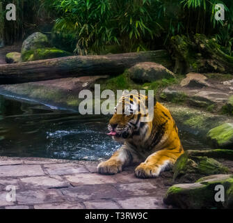 portrait of a siberian tiger bathing in the water, tiger washing its self, animal behavior, Endangered animal species - Stock Photo