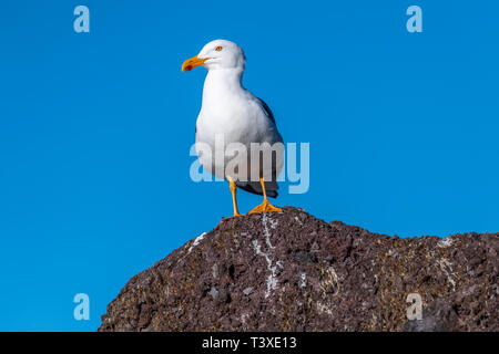 Adult Yellow-footed Gull (Larus livens) perched on a rock in Baja California, Mexico. - Stock Photo