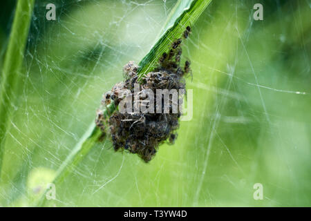 Baby spiders being born in Amazing nature. Spiders spin out of nest - Stock Photo