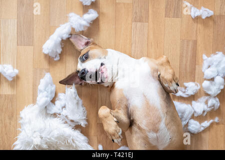 Playful dog among torn pieces of a pillow on the floor, top view. Funny staffordshire terrier having fun destroying homeware - Stock Photo