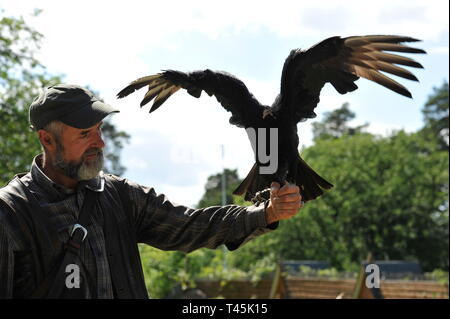 Wildvogel im Falkenhof Harz, inh.Falkner Mursa ,Sachsen  Anhalt.Rabengeier,Coragyps Atratus. - Stock Photo