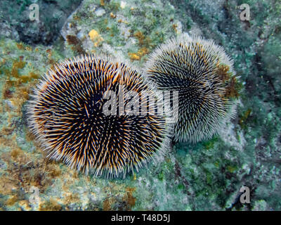 A pair of sea urchins on a rock near Cabo San Lucas in Baja California, Mexico - Stock Photo
