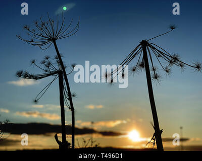 dry cow parsnip plant against the blue sky - Stock Photo