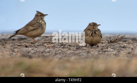 Two Crested Larks standing on flat surface in winter time - Stock Photo