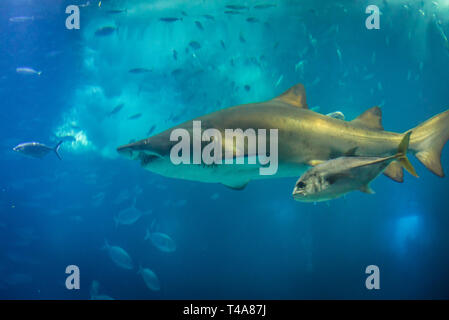 Carcharias taurus commonly known as Sand tiger shark in Oceanario de Lisboa in Lisbon, Portugal - Stock Photo