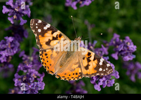 painted lady, (Vanessa cardui) - Stock Photo