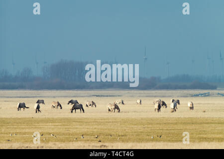 herd of conik horses on a pasture in winter - Stock Photo