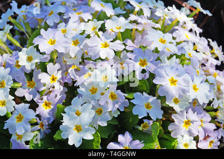 Primrose bush with flowers with white and pink petals and green leaves on a spring day - Stock Photo
