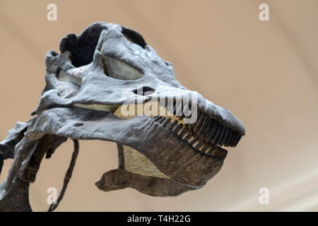 Trex skull skeleton close up - Stock Photo