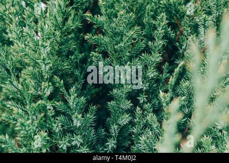Green fir tree branches background. Fluffy fir tree brunch close up. - Stock Photo
