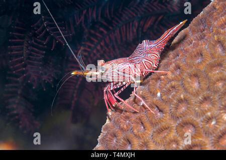 Durban hinge-beak prawn [Rhynchocinetes durbanensis].  Puerto Galera, Philippines. - Stock Photo