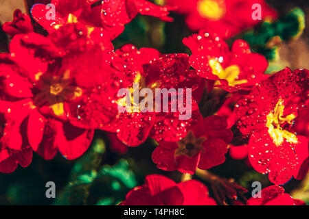 Primrose Primula with red flowers. Inspirational natural floral spring or summer blooming garden or park under soft sunlight and blurred bokeh backgro - Stock Photo