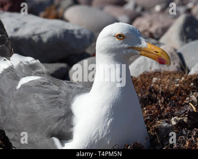 Yellow-footed Gull, Larus livens, endemic to the Sea of Cortez, nesting on an island in Baja California, Mexico - Stock Photo