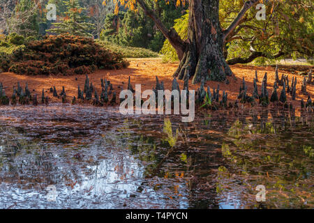 Bald-Cypress - Stock Photo