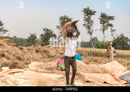 Hard Working Indian farmer, winnowing wheat and separating Grain from the Chaff, on a bright sunny day, in his agricultural field full of stubble. - Stock Photo