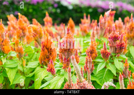 Cockscomb flower head red orange with bees in garden - Stock Photo