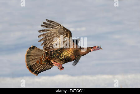 Eastern Wild Turkey Meleagris gallopavo in flight over the snow in Dunrobin, Canada - Stock Photo