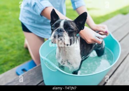 kids wash boston terrier puppy in blue basin  in summer garden on a wooden terrace - Stock Photo