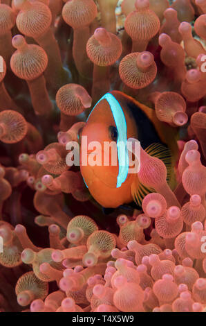 Red and Black Anemonefish (Amphiprion melanopus) - Stock Photo