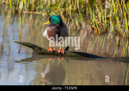 Male Mallard [ Anas platyrhynchos ] on log with reflection  at Slimbridge - Stock Photo