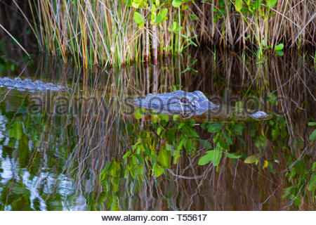 Young North American alligator keeping a watchful eye in the marshlands of Merritt Island National Wildlife Sanctuary on the East coast of Florida (US - Stock Photo