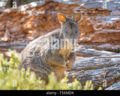 A wallaby in Cradle Mountain - Lake St Clair National Park in Tasmania, Australia. - Stock Photo