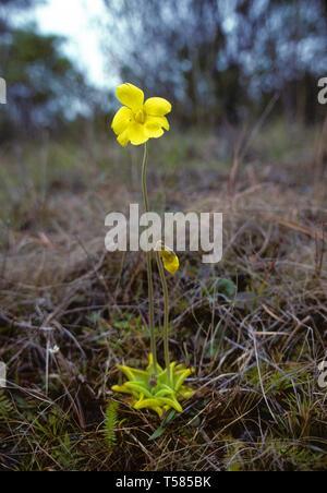 Pinguicula lutea, yellow flower butterwort - Stock Photo