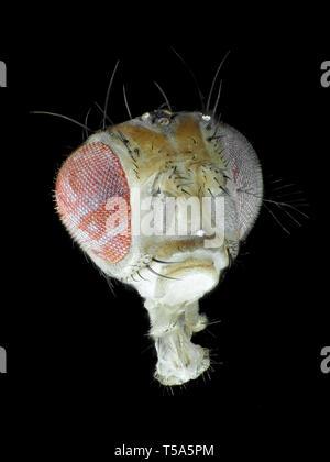 Head of Drosophila melanogaster, reflected light micrograph - Stock Photo