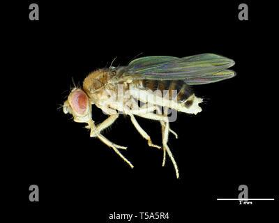 Tiny fruit fly (about 2.5mm in length) Drosophila melanogaster - Stock Photo
