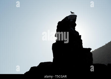 Yellow footed gull on a rock, Gulf of California, Mexico. - Stock Photo